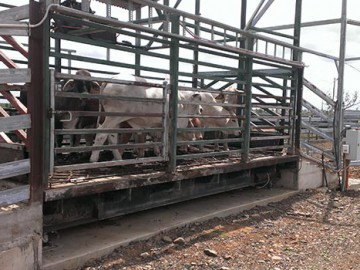 Cattle Weighbridge Refurbished – Barmount Station Feedlot